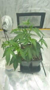 Blue Thai - Final step of the early vegetative stage