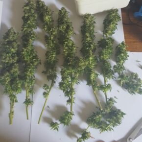 Final harvest after drying out the buds