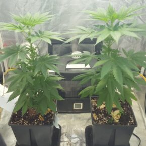 2 Blue Thai Cannabis plants about 3 weeks old