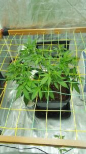 Big buddah cheese - Step 2 of vegetation stage