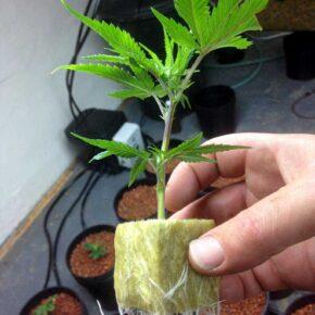 Marijuana clone ready to be potted
