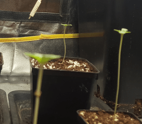 Day 3 : The sprouts are in their tente and growing