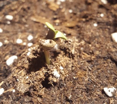 how to start marijuana seeds