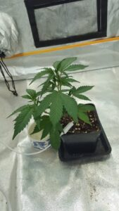 Blue Thai - first steps of the vegetative stage