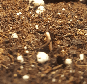 Day 0 : Cannabis sprout just breaking the soil