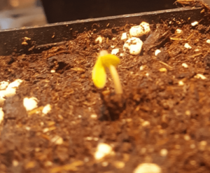 Front angle of the sprout is shedding its seed shell and standing up