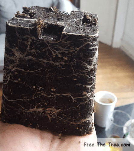 Last weed plant being transplanted, you can see its root system invaded the soil