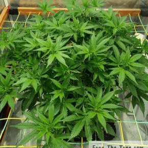 Weed plan growing all over the place due to uncontroled scrog