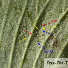 Close up on back of the leaf showing eggs, spiders and webbing