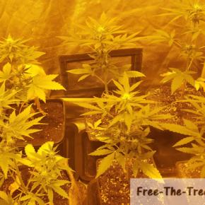 6 flowering marijuana plants