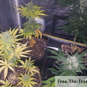 Marijuana Nitrogen deficiency flowering stage