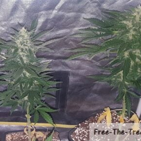 2 One bud plants in flowering stage