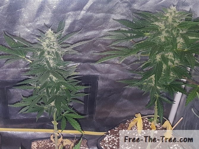 Day 48 to 53 - Thrips, Trichomes and Fattening Buds | Free