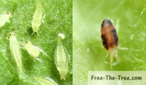 close up on spider mites and thrips on marijuana
