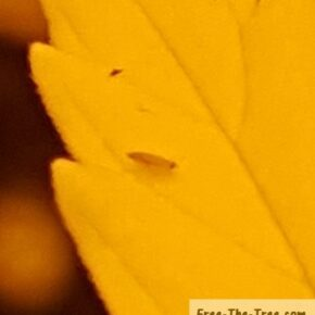 Focus on thrips