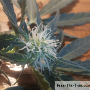 Close up on early marijuana flower and trichomes