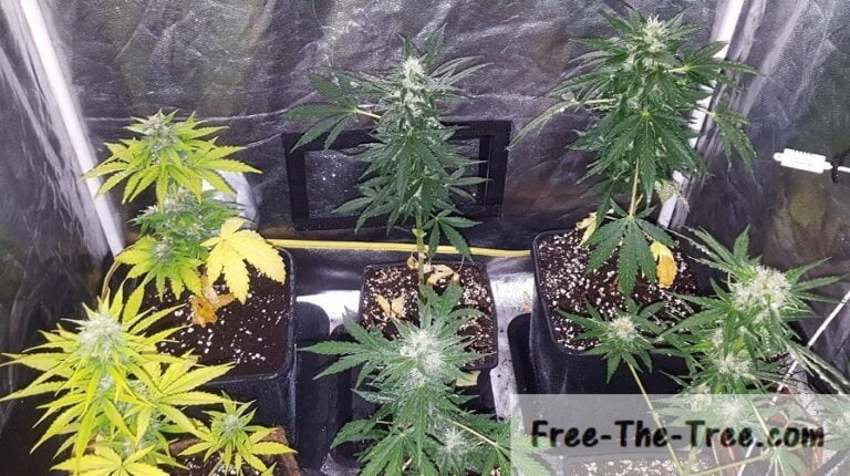 Top view of our 6 Marijuana plants