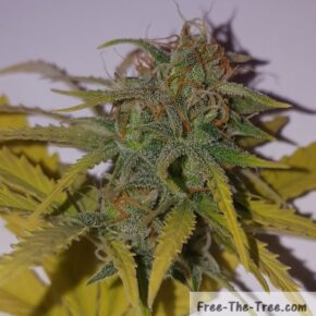 Close up on marijuana buds and trichomes