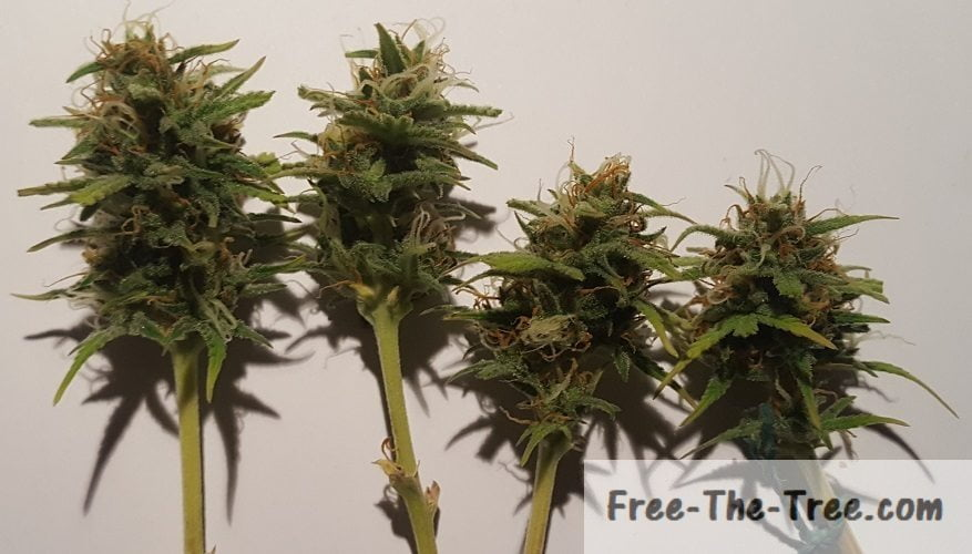 Day 48 to 53 - Thrips, Trichomes and Fattening Buds   Free