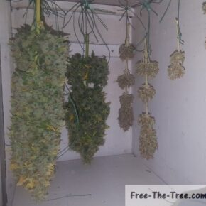 Different stages of drying marijuana buds