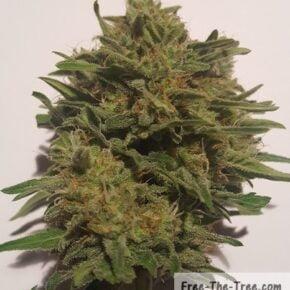 Focus on marijuana bud after curing