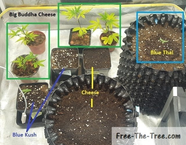 Top view of the 4 strains of marijuana's in this grow