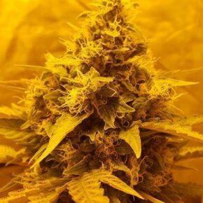 Close up on marijuana flower