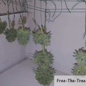 Critical plant drying in the dark