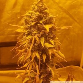 One bud marijuana about to be harvested