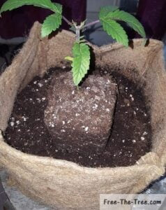 Half way through the blue kush transplantation