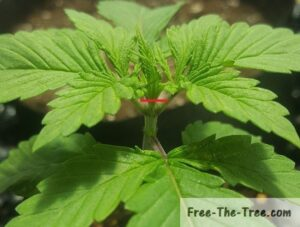 Showing how to top a marijuana plant during the early vegetative stage