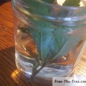 2 Blue Kush cuttings in the jar