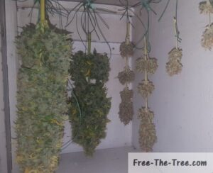 Critical and Fruit buds drying