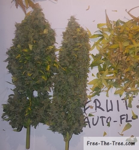 Close up on 2 harvested plants grow using one-bud style