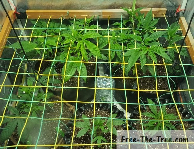 screen freshly installed and ready to weave branches & Grow Report Week 6 | ScrOG Cuttings and Automatizing the Watering