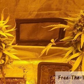 Weed plants trained using one bud technique