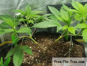 Branches of the plant tied to the edges for LST