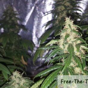 Marijuana pistils browning