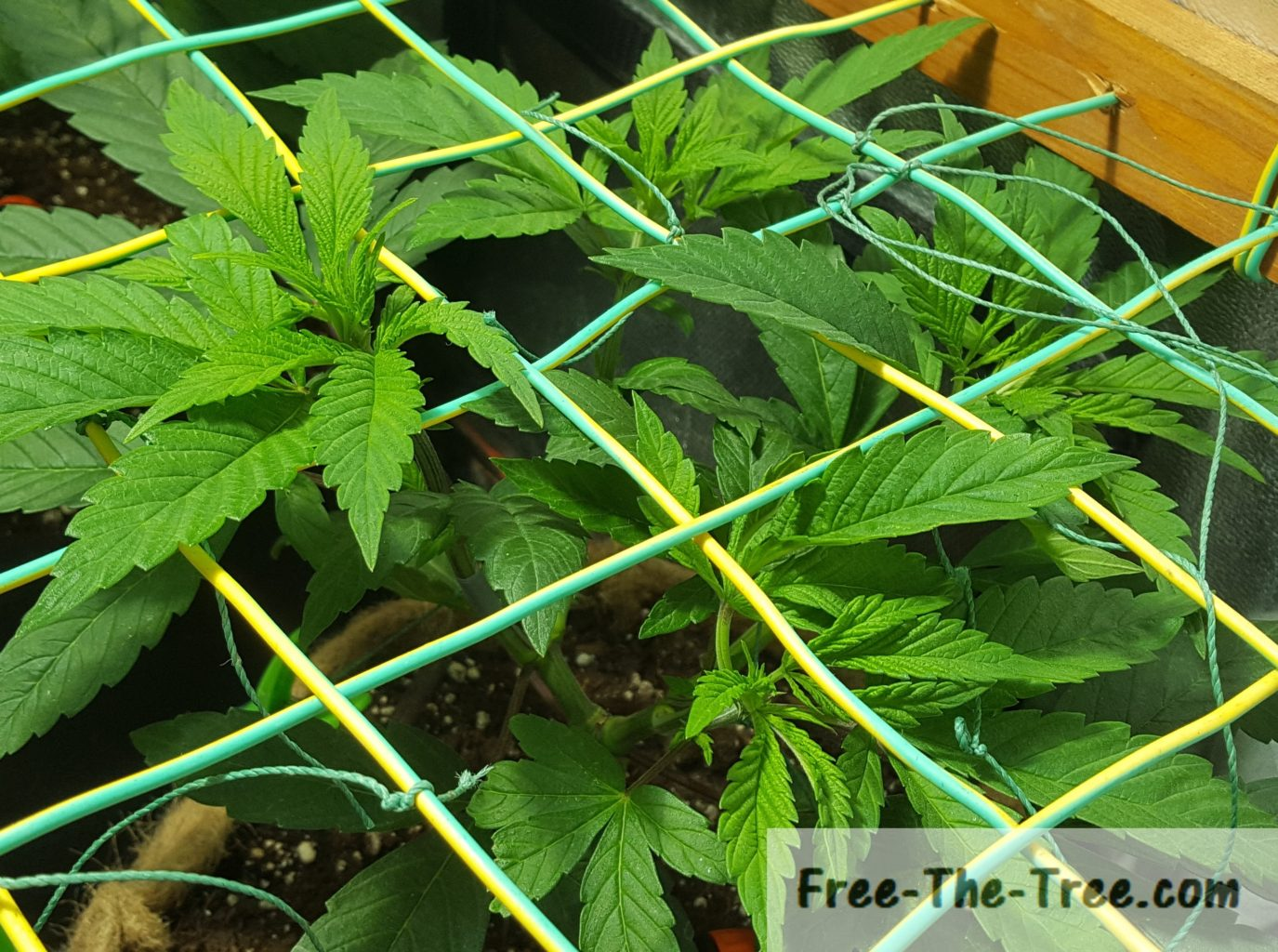 SCROG Tutorial – Everything you need to know