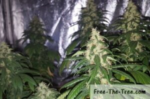 Marijuana plants mid way through the flowering stage
