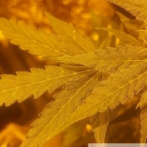 focus on 2 leaves with trichomes growing