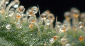 milky and amber trichomes, most strains are good to harvest now