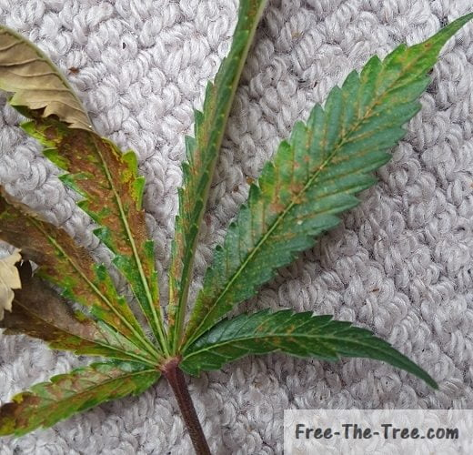 Marijuana leaf with signs of calcium deficiency
