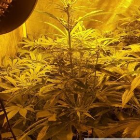4 foot Cheese plant at the start of the flowering stage