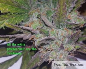 Thousands of trichomes all over the weed bud and leaves