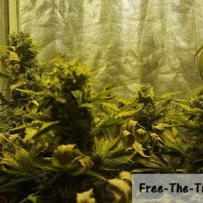 Big Buddha cheese colas doubled in size