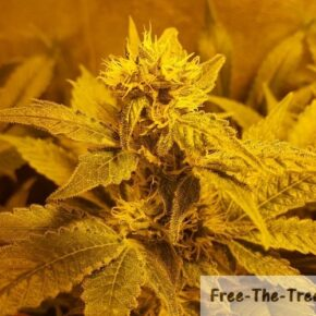 Marijuana flower with trichomes all over the pistils and leaves