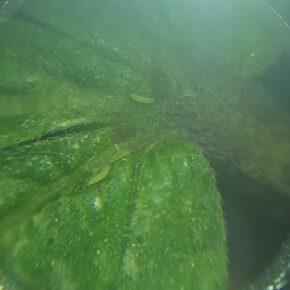 3 thrips feeding on marijuana leaf