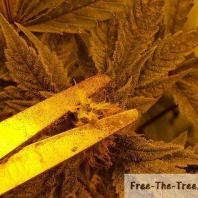 Back building marijuana during flowering stage