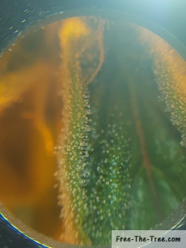 Leaf covered in trichomes starting to be milky